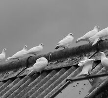 doves on rooftop, b&w by purpleminx