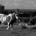 Gypsy Pony by Nigel Bangert