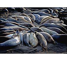 Seal Scrum Photographic Print