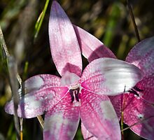 Pink fairy orchid 2 by Philip Cannon