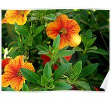 Pretty Petunias Poster