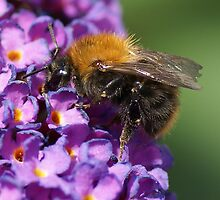 The brown bumblebee by walstraasart