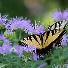 Butterflies by CMCetra