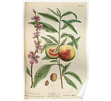 A curious herbal Elisabeth Blackwell John Norse Samuel Harding 1737 0262 The Peach Tree Poster