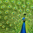 Peacock - Yes I am following you for a reason by Giovanna Tucker