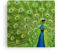 Peacock - Yes I am following you for a reason Canvas Print