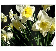 Dancing Daffodils Poster