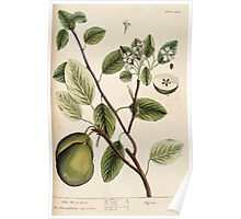 A curious herbal Elisabeth Blackwell John Norse Samuel Harding 1739 0510 The Pear Tree Poster