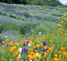 Yorkshire Lavender by Sue Gurney