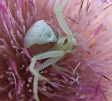 Crab Spider in A  Nodding Plumeless -Thistle by Tracy Faught