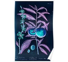 A curious herbal Elisabeth Blackwell John Norse Samuel Harding 1737 0262 The Peach Tree Inverted Poster