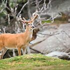 American White Tail Deer - Blue Ridge Mountains Wildlife by Dave Allen
