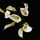 Cala lilies by Revenant