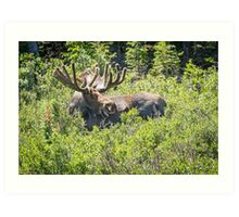 Smiling Bull Moose Art Print