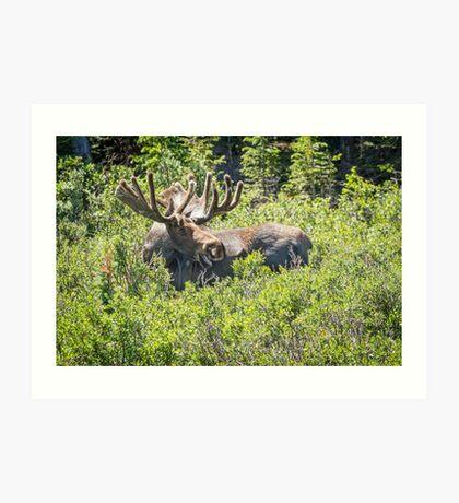 Smiling Bull Moose Art Print
