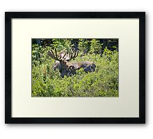 Smiling Bull Moose Framed Print