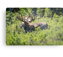 Smiling Bull Moose Metal Print