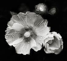 A monochrome Flower World : Hollyhocks by PhotomasWorld