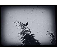 Blackbird singing in the dead of night Photographic Print