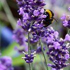 Summer Bumble Bee 3 by Vanessa  Warren
