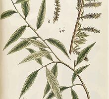A curious herbal Elisabeth Blackwell John Norse Samuel Harding 1739 0194 The Willow Tree by wetdryvac