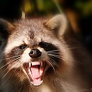Racoon Yawnnning by Colleen Rohrbaugh