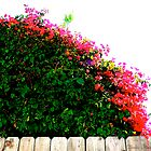 'Burning Bush' Over The Fence by CissieMayHaines