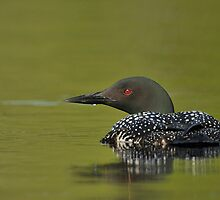 Common Loon  by Daniel  Parent