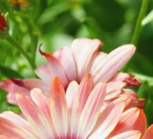 Pink Cinnamon Tradewind Daisy Flowers in the Garden Sticker