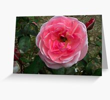 A pink Rose with a bumble bee inside it. Greeting Card