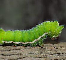 Little Green Caterpillar by Janet Rogerson