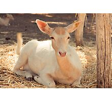 Albino Deer Photographic Print
