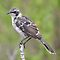 Galapagos Mockingbird I by Paul Duckett