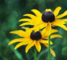 Black Eyed Susan Bokeh by April Koehler