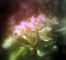 apple blossoms #3, pink tinted by Dawna Morton