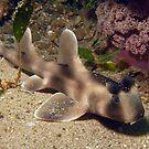Juvenile Crested Horn Shark by JimDodd