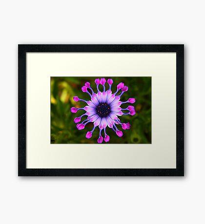 Osteospermum Whirligig  Framed Print