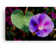 Beautiful Single Morning Glory Flower and Leaf Canvas Print