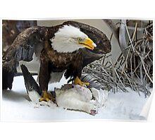 American Bald Eagle on Display Poster