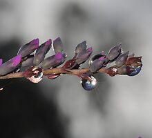 Star Bright, Sun Light, Rain Drop Macro by MissyD
