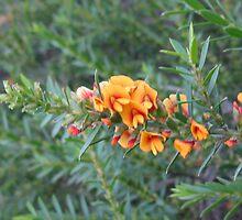 Bright Australian Native Flowers - Nangawooka Flora Reserve SA by Kim  Lambert