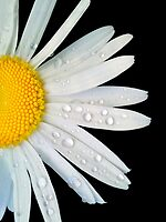 Wet Daisy by Eugenio