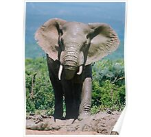 The Bull at the Waterhole Poster