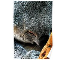 Atop a Tree a Koala Sleeps Poster
