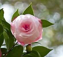 Pink camellia bokeh by Aeve Pomeroy