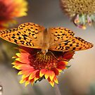 Butterfly on Firewheel by Arla M. Ruggles