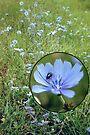 Roadside Chicory by MarjorieB