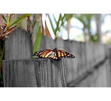 Newly Hatched Monarch Butterfly Photographic Print