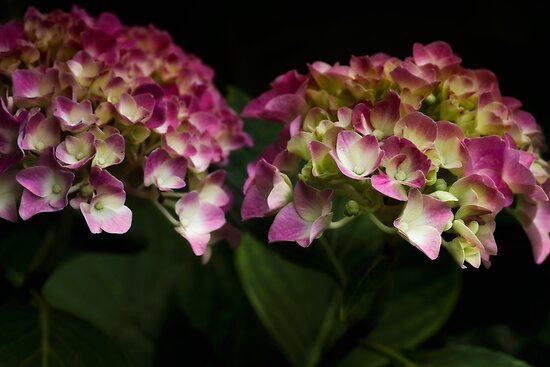 The world of Hydrangeas by Dania Reichmuth