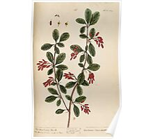 A curious herbal Elisabeth Blackwell John Norse Samuel Harding 1737 0424 The Barberry Bush Poster